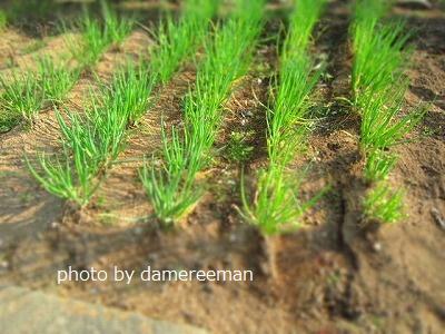 2015.3.8家庭菜園4