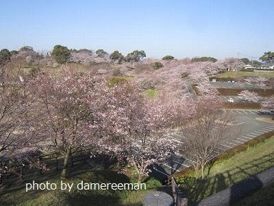 2015桜5