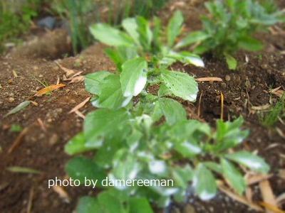 2015.4.12菜園2