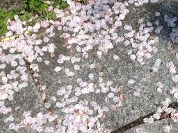 既に桜吹雪。