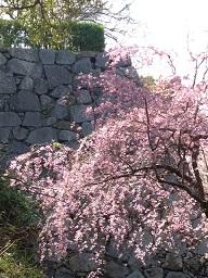 城址の枝垂桜並木。