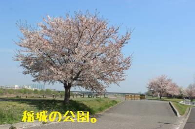 桜が咲いてる~。