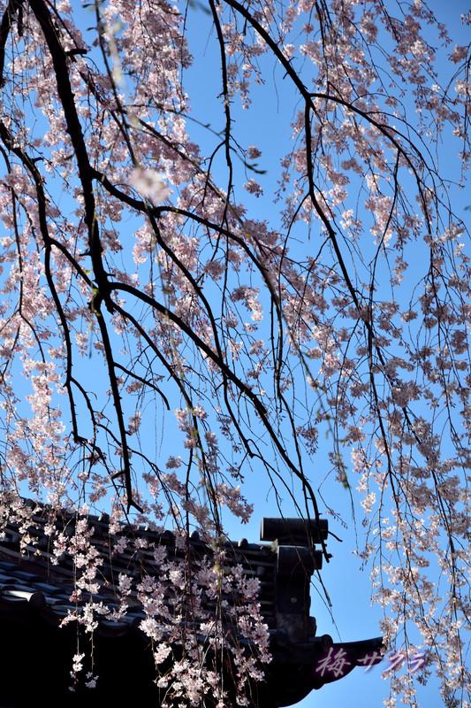 中院の桜4変更済