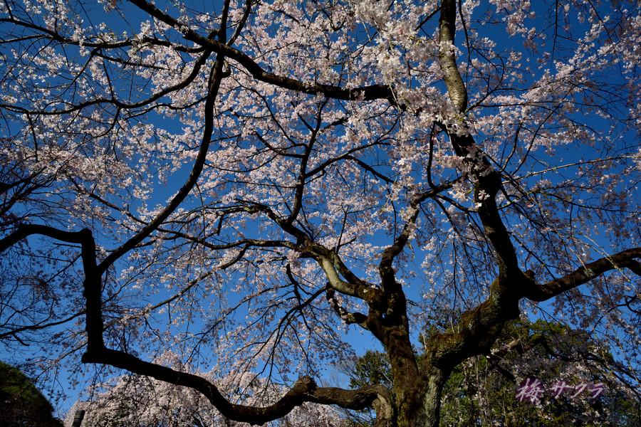 中院の桜6変更済
