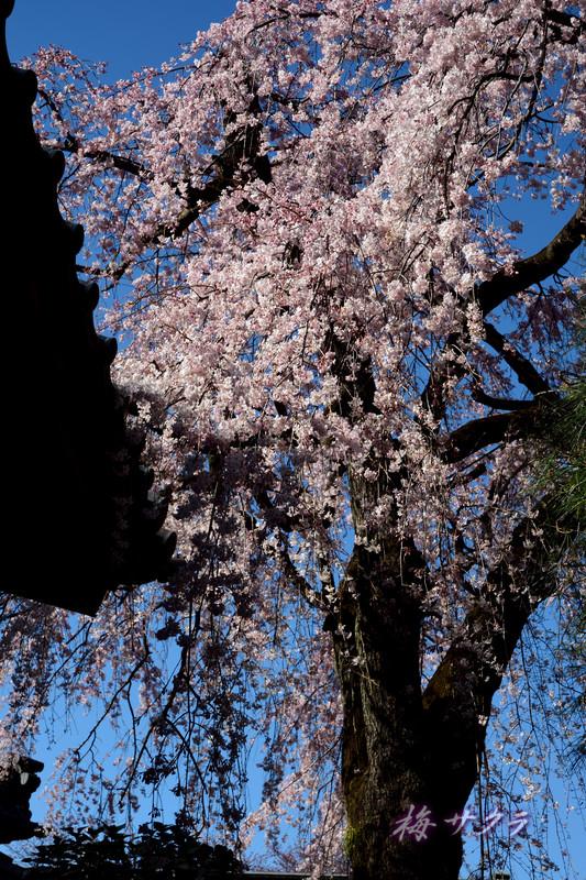 中院の桜8変更済