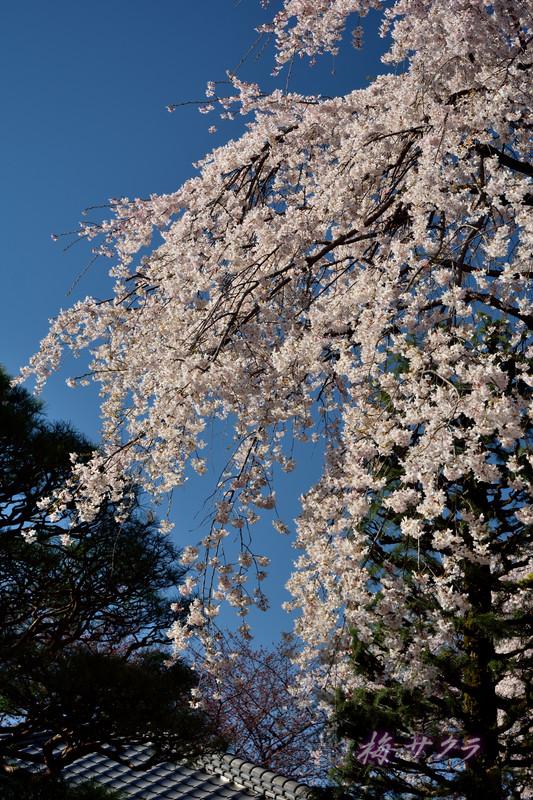 中院の桜9変更済
