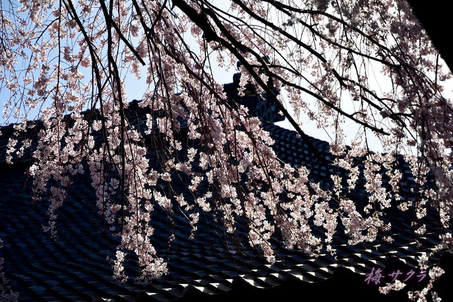 中院の桜10変更済