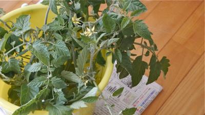 tomato150521-1
