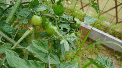 tomato150523-1