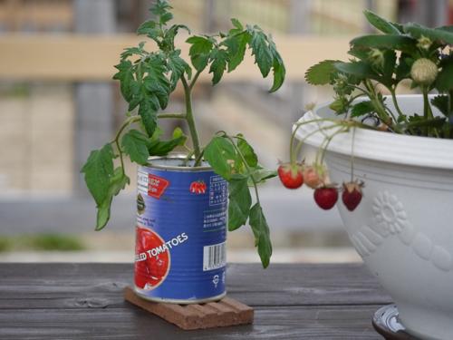 tomato150530-1