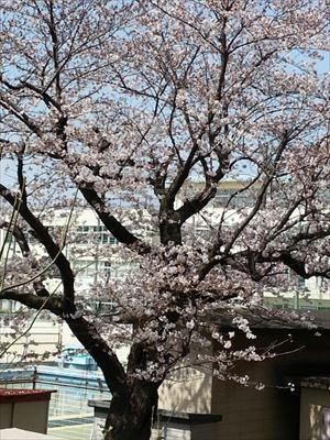 20150330ベランダの向こうの桜_R