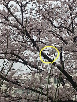 20150401桜満開_R