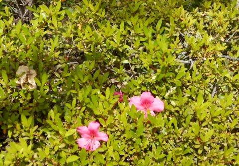 サツキの花芽