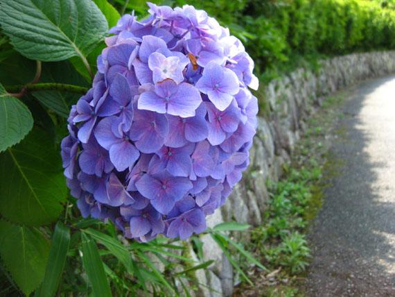 紫陽花2015-01