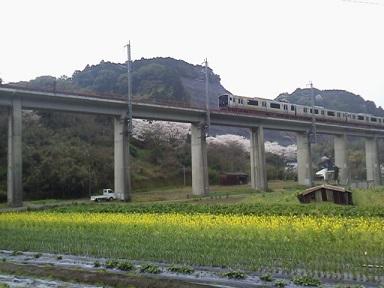 菜の花・桜(ブログ用)