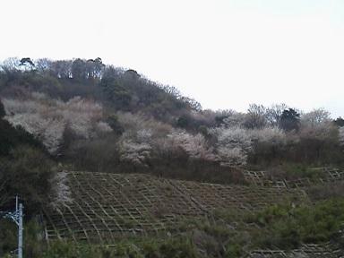 山桜開花(ブログ用)