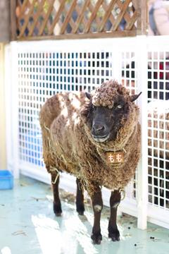 ことしは羊どし