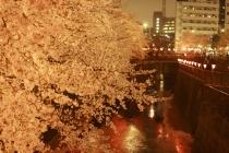 目黒桜03