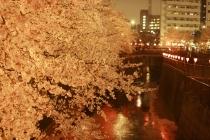 目黒桜04