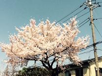 27年桜1