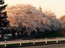 27年桜4