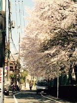 27年桜2