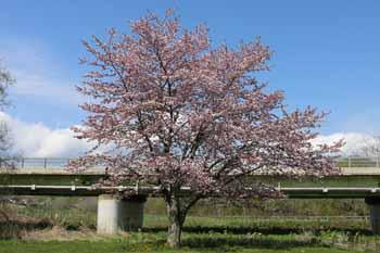 20150509_桜1