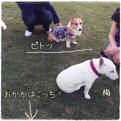 sakukotamama1.jpg