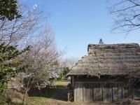 3月31日 ロケセット付近の桜(裏)