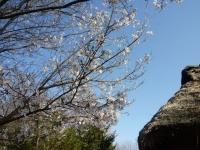 3月31日 ロケセット付近の桜(裏)アップ
