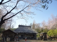 3月31日 ロケセット付近の桜2