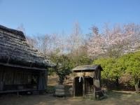 3月31日 ロケセット付近の桜(東側)