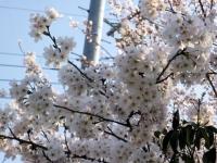 3月31日 駐車場入り口の桜(アップ)