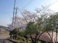 3月31日 駐車場入り口の桜