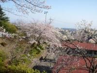 3月31日 静心寮の桜