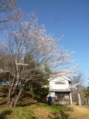 3月31日 蔵座敷付近の桜