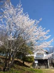 4月2日 蔵座敷付近の桜