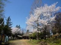4月2日 ロケセット付近の桜