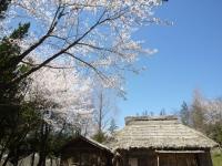 桜の屋根のよう