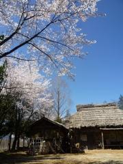 ロケセット西側の桜が満開です