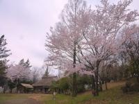 4月4日 ロケセット付近の桜