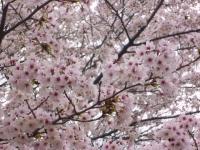 桜が開ききりました