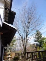 4月9日 蔵座敷の庭の桜