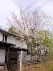 蔵座敷の庭の桜 全体