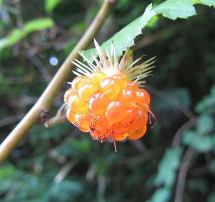 木イチゴ 1