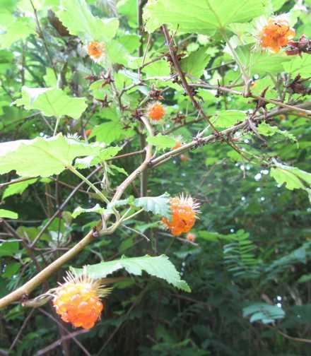 木イチゴ 2