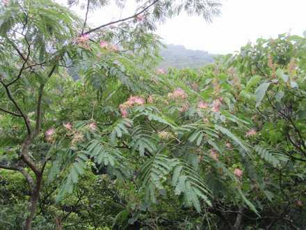 ねむの木 2