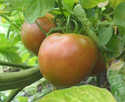 トマト 2
