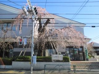 201503270815小山市民センターの桜