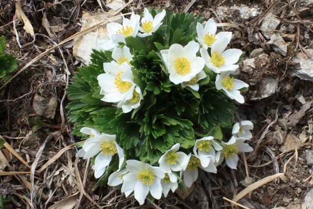 ミヤマキンバイの花束